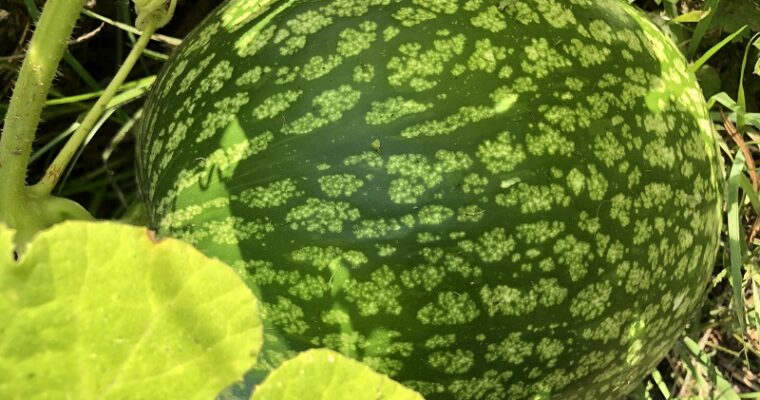 Vijgenbladpompoen